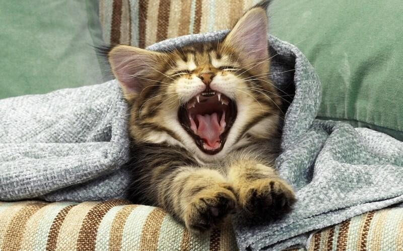 Если кошка чихает что делать как лечить