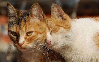 Длительность течки у кошки