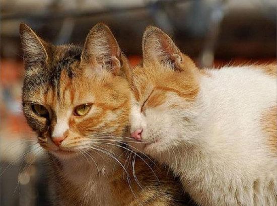 Как долго длится течка у кошек