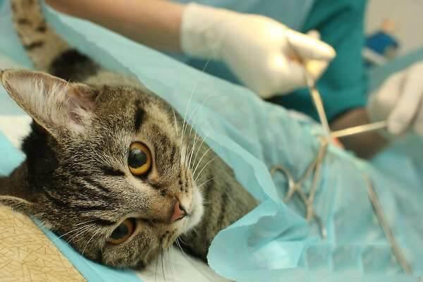 Кот на операции