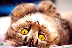 Кошка у кошки начинается первая течка