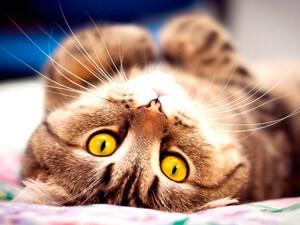 Что делать когда начинается течка у кошек