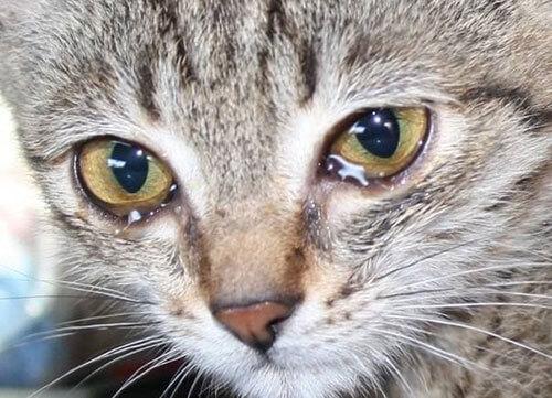 Слезы у кошек