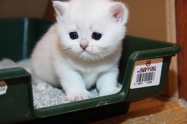 Как приучить котенка к лотку самостоятельно
