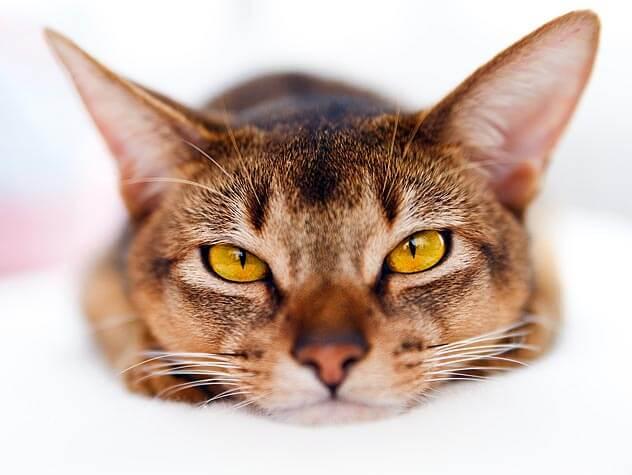 Как понять что у кошки панлейкопения