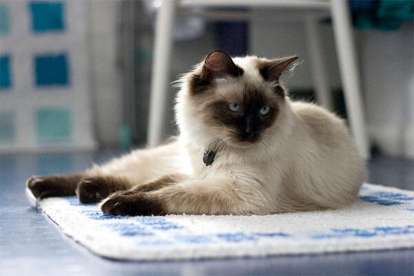 Регдолл кот