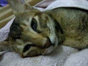 Кошка больная панлейкопенией