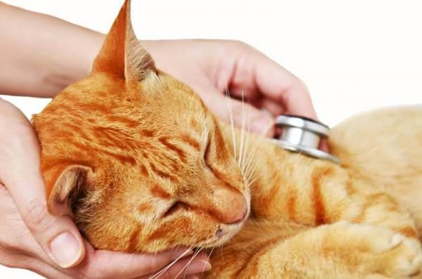Симптомы коровируса у кошки