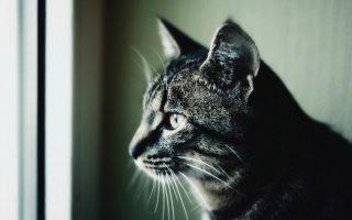 Лечение иммунодефицита у кошек