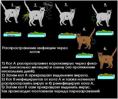 Распространение коронавируса у кошек