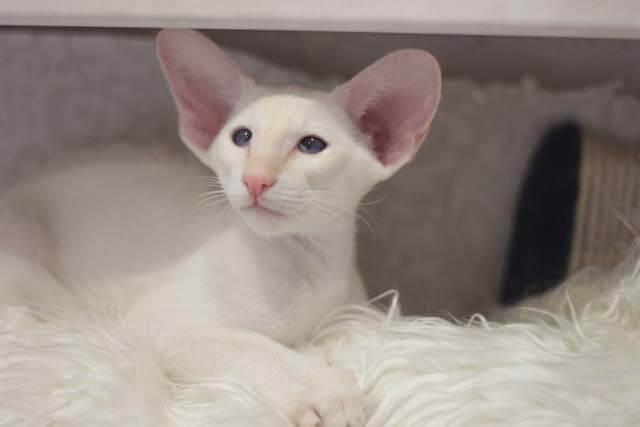 Котенок с большими ушами