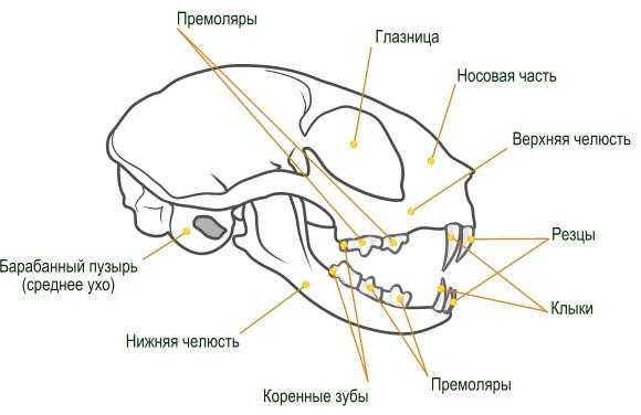 Строение челюсти кошки