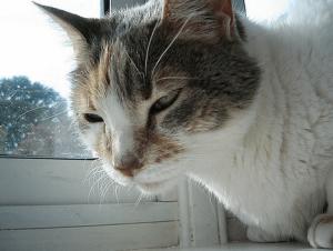 Течение ринотрахеита у кошки