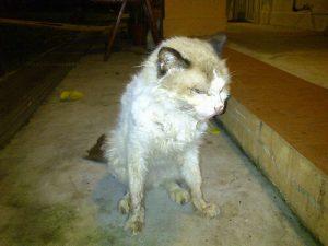 Кошка, заболевшая вирусной лейкемией