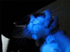 Диагностика лишая у кошки