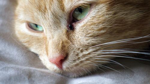 Калицивирус у кошки