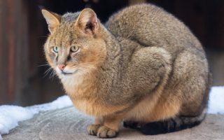 Самые большие кошки в мире