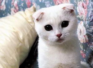 Белоснежный котик