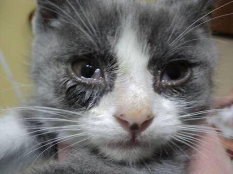 Ринотрахеит у кошек (вирусный, инфекционный): симптомы и лечение в домашних условиях