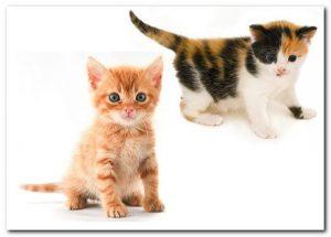 Определение пола котенка