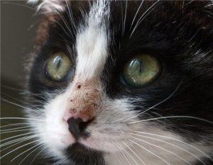 Кот с кальцивирозом