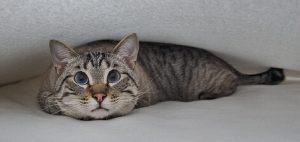 Удивленный кот лежит