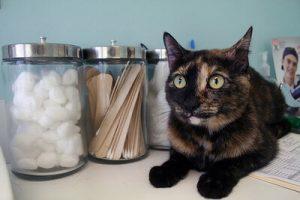 Лечения от ВИЧ у кошек нет