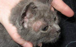 Лишай у кошек: фото, признаки и лечение