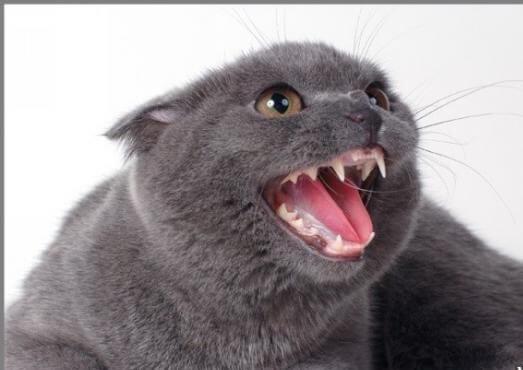 Сколько и каких зубов должно быть у кошки