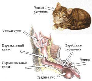 Строение уха у кошки