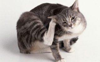 Лечение власоедов у кошек: предотвращение заражения, диагностика и симптомы