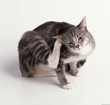 Власоед у кошек признаки