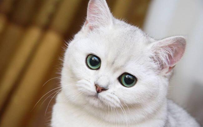 Лечение ушного клеща у кошки