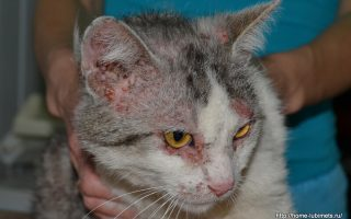 Лечение дерматита у кошек