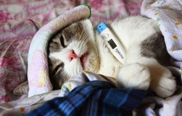Лечение пневмонии у кошек: разновидности, симптомы и лечение