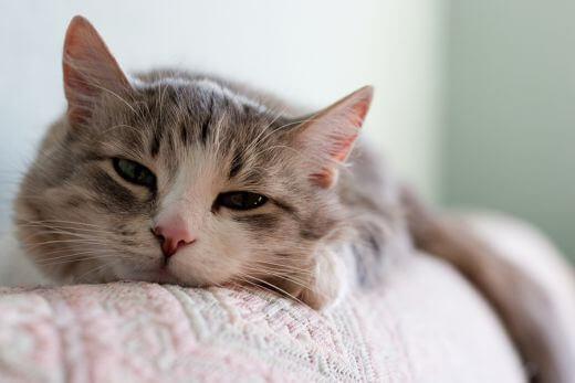 Лечение гастрита у кошки в домашних условиях