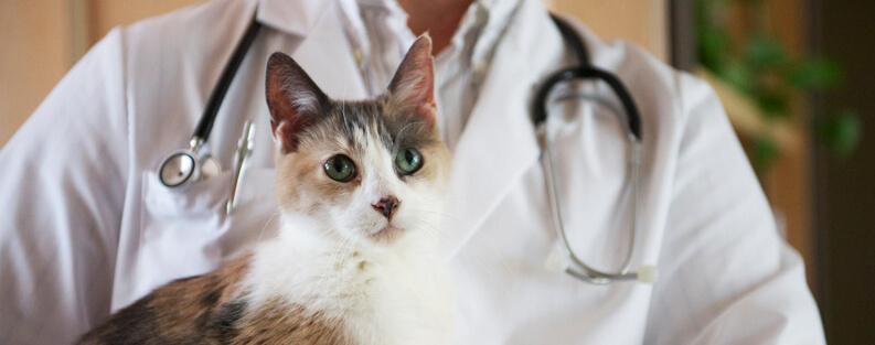 Лечение экземы у кошки