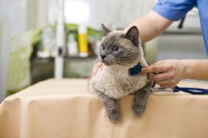 Лечение и профилактика анемии у кошки