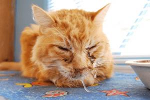 Симптомы хламидиоза у кошки