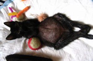 Кошка с водянистым животом от асцита