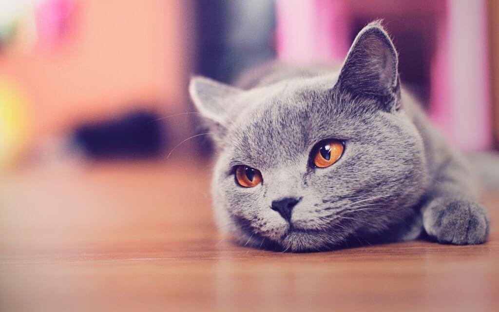 У кошки выпадает шерсть лысеет