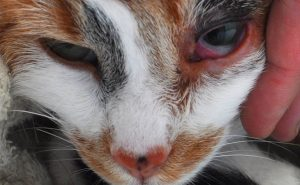 Проявление хламидиоза у кошек