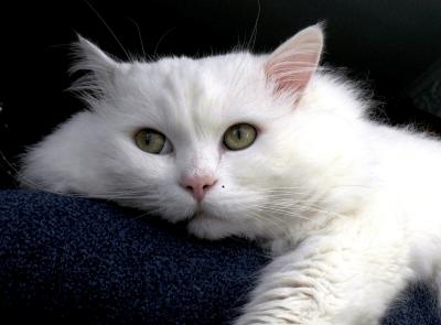 Лечение анемии у кошек