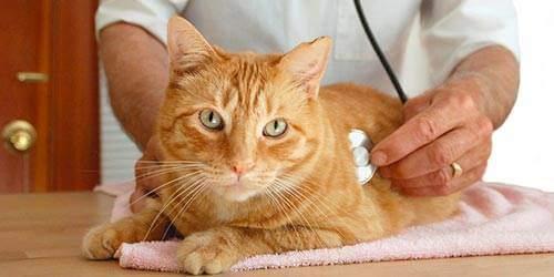 Причины и лечение рака у кошек