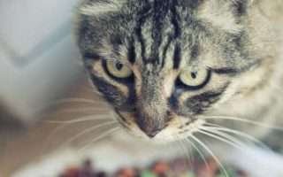 Диабет сахарный у кошки