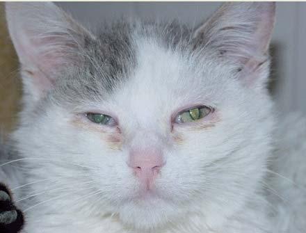 Лечение хламидиоза у кошек: течение болезни, диагностика и симптомы, лечение