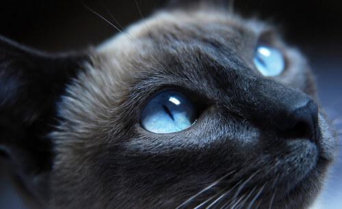 Конъюктивит у кошки фото здорового глаза