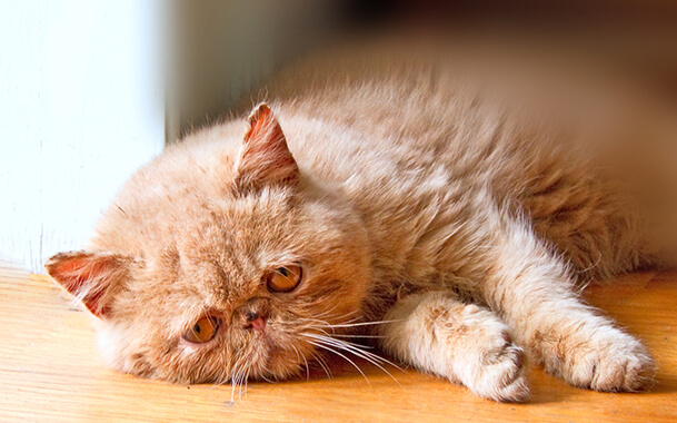 Лечение эпилепсии у кошек: диагностика, симптомы и профилактика болезни