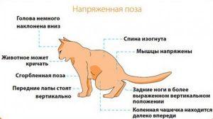 Симптомы МКБ у кота