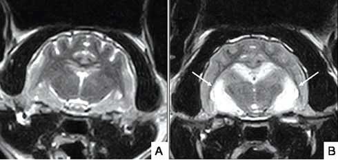 Эпилепсии у кошки на МРТ